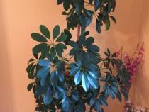 Plante schefflera