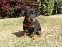 Pinscher German si Pitic