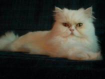 Pisică persană