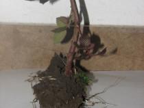 Mur soiul Thornfree- plante de 2 ani