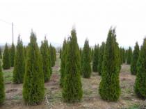 Tuia smaragd,ienupar,plante ornamentale,arbusti aclimatizati