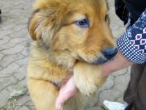 Pui de mastiff tibetani