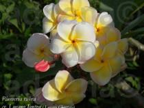 Seminte Plumeria Frangipani Rubra