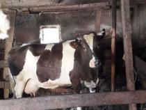 Vaca de lapte