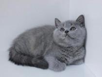 Pisici British Shorthair Blue, par scurt, pentru apartament