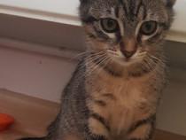 Pisica pentru adoptie