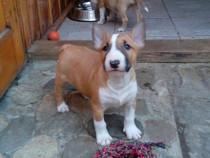 Bull Terrier puiuti