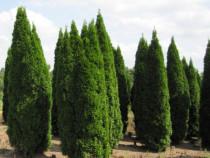 Tuia si plante ornamentale