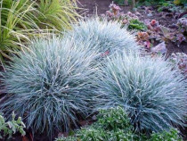 50 semințe Iarbă albastră - Festuca Glauca - ornamentală