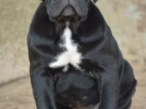 Canisa Akbarforce  pui cane corso cu pedigree