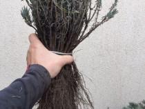 Butasi de lavanda angustifolia (sevstopolis)