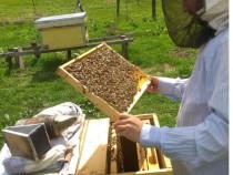 53 de stupi cu albine
