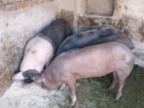 Porci de carne