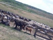 Oi și capre