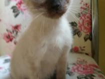 Pisică Siameză/Siamese