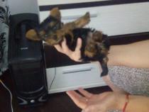 Avem pui de Yorkshire terrier mini toy