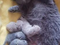 Puiuti pisica din rasa folds & britanici