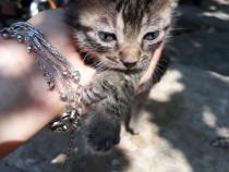 Anunțuri online animale de companie de vanzare Pisici