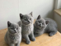 British Shorthaire Blue si point & scottish poze reale