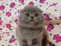 Pisici Scottish fold blue poze reale