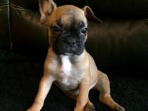 Pui Bulldog Francez fetita