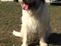 Câine ciobanesc