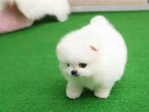 Pomeranian micro