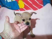 Cățeluși Chihuahua Toy