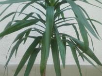Palmier la palma in ghiveci 1 , 50 metri