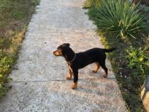Jagd terrier mascul si femela