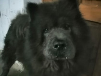 Chow chow monta