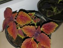 Coleus multicolor pui 7 cm