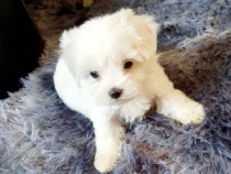 Bichon mini toy