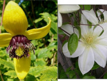 Seminte clematis korean beauty/montana alba, lemon,