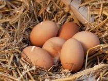 Oua de găină crescute cu cereale