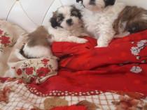 Bichon toy _ băieței și fetițe