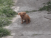 Pinscher pitic pui toy