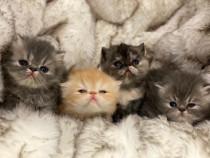 Pui pisici Persani