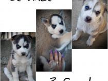 Se vinde pui câine Husky