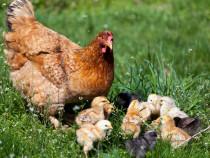Ouă de incubatie, găini rasa mixtă (ouă +carne)