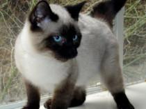 Pisica siameză cu ochii albaștri