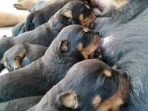 Rottweiler talie mare