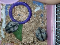 2 Hamsteri Pitici de diferite culori : alb cu maro și alb cu