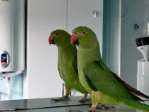 Papagal micul alexander femela