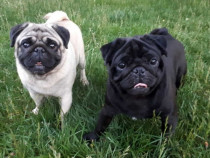 Pui pug mops cu pedigree