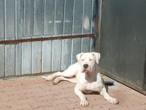 Femela Dog Argentinian