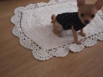 Pui Chihuahua