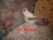 Porumbei diverse specii