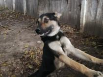 Ciobănesc german câine lup 1 an