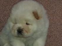 Pui Chow-Chow albi,ursuleti polari